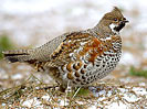 Hazel Grouse or Hazel Hen