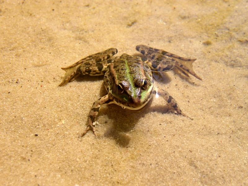marsh frog %28rana ridibunda%29