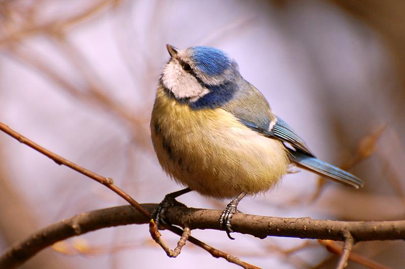 藍山雀 (Parus caeruleus)