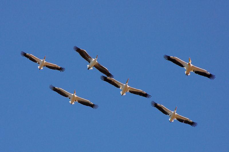 Great White Pelican (P...