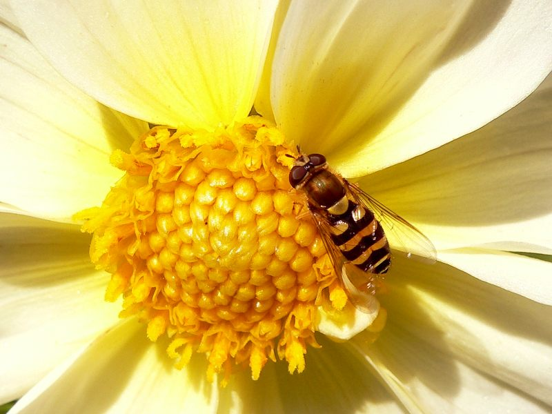 Hoverfly (Syrphus vitripennis)