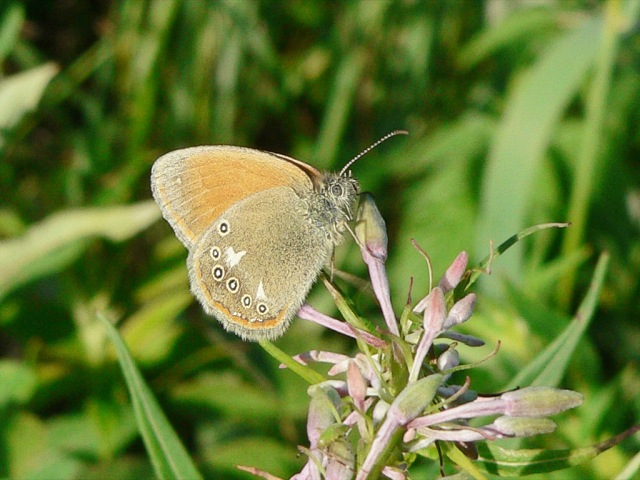 Chestnut Heath (Coenonympha glycerion)
