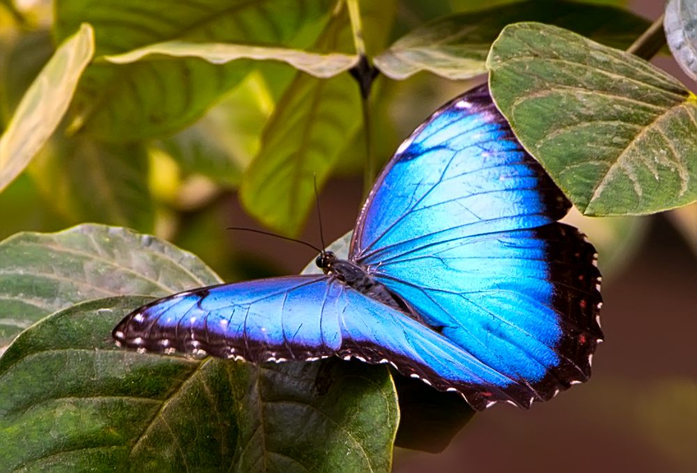 Common Blue Morpho (Morpho helenor)