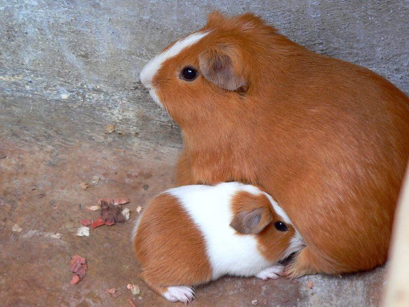 Cavia domestica o porcellino d 39 india cavia porcellus for Porcellino india