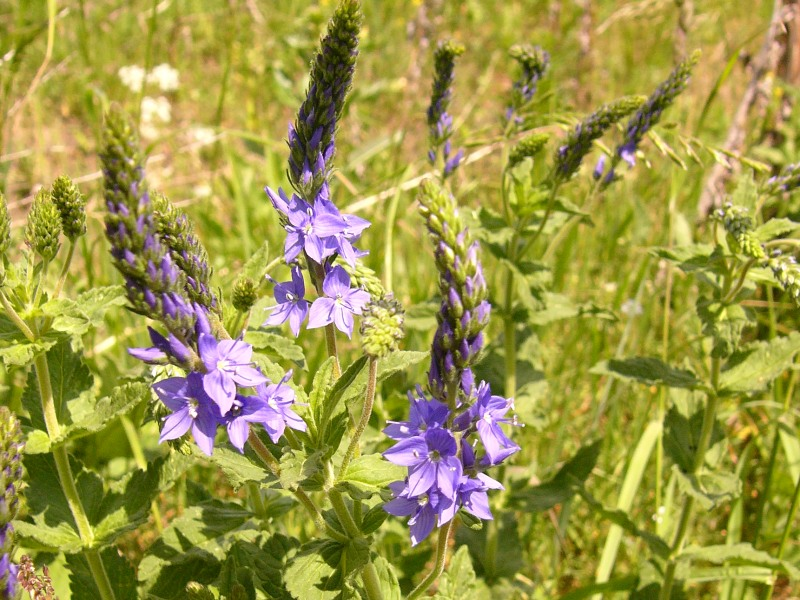 Large Speedwell (Veronica teucrium)
