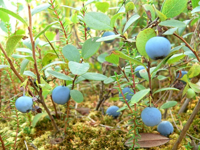 Bog Bilberry or Northern Bilberry (Vaccinium uliginosum): gallery.new-ecopsychology.org/en/photo/bog-bilberry_(vaccinium...