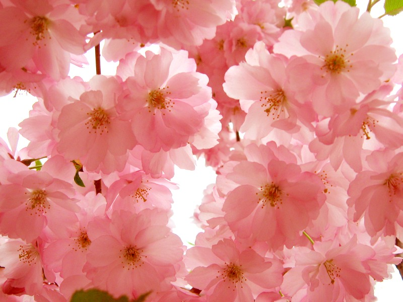 Japanese Cherry, Hill Cherry or Oriental Cherry (Prunus serrulata)