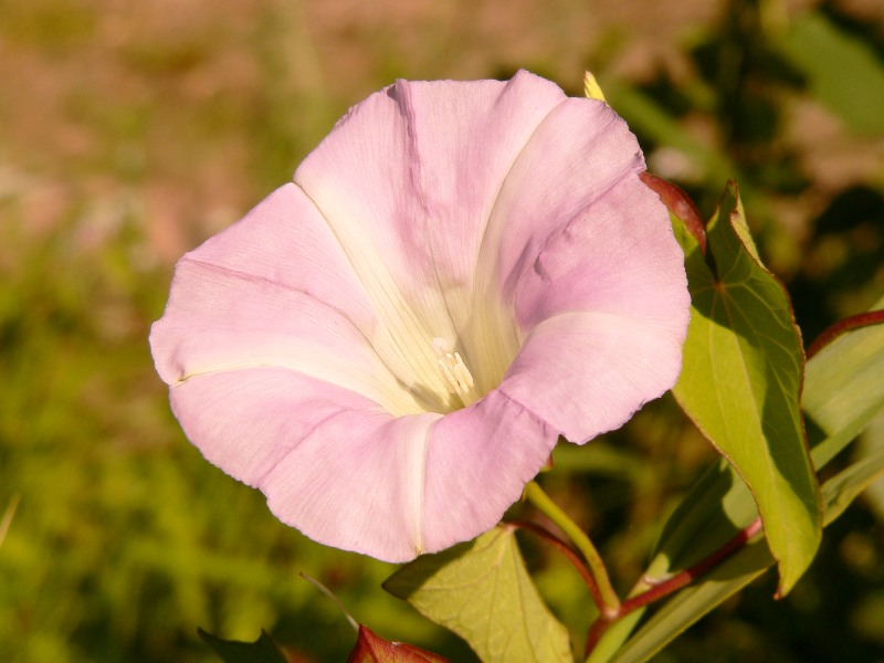 Larger Bindweed, Hedge Bindweed (Calystegia sepium)