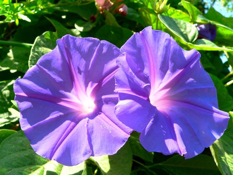 Ipomoea for Ipomea purpurea