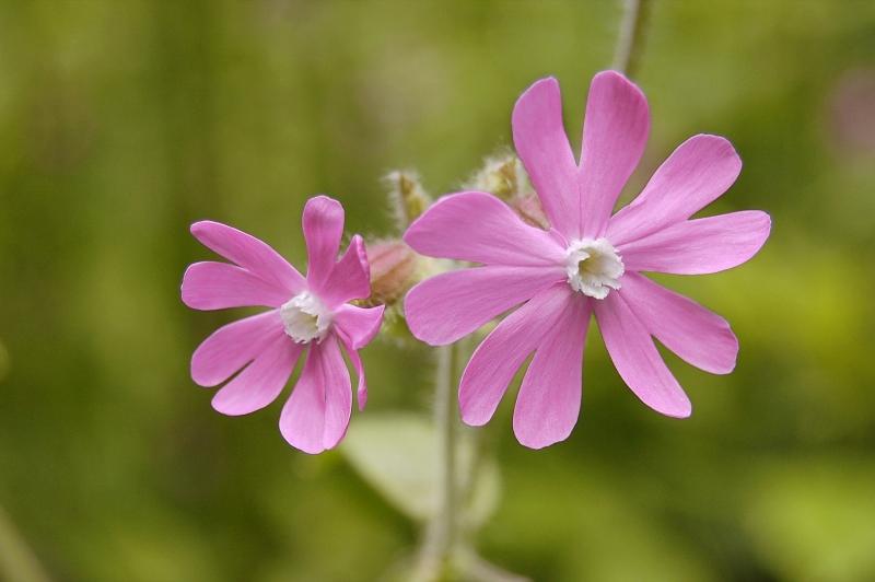 Цветок смолка фото цветы