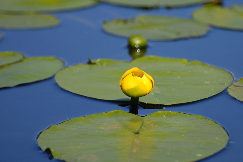 Spatterdock, Yellow Water-Lily, Cow Lily (Nuphar lutea)