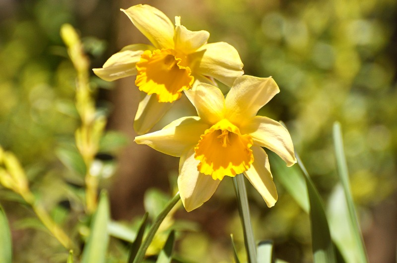 Wild Daffodil, Lent lily (Narcissus pseudonarcissus)