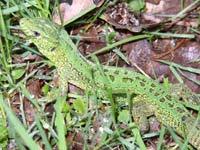 Ящерица прыткая, или обыкновенная (Lacerta agilis)
