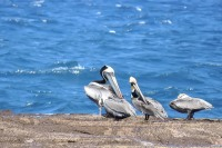 Pellicano bruno (Pelecanus occidentalis)