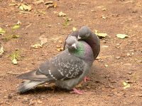 Rock Dove, Rock Pigeon (Columba livia)