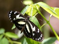 Atthis Longwing or False zebra longwing (Heliconius atthis)