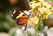 Ismenius tiger (Heliconius ismenius)