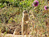 Spotted Souslik, Speckled Ground Squirrel (Spermophilus suslicus)