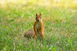 Squirrel (Sciurus vulgaris)