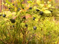 Common Bilberry (Vaccinium myrtillus)