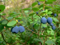 Bog Bilberry or Northern Bilberry (Vaccinium uliginosum)