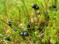 Black crowberry (Empetrum nigrum)