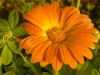 金盏花 (Calendula officinalis)