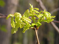 Roble (Quercus robur)